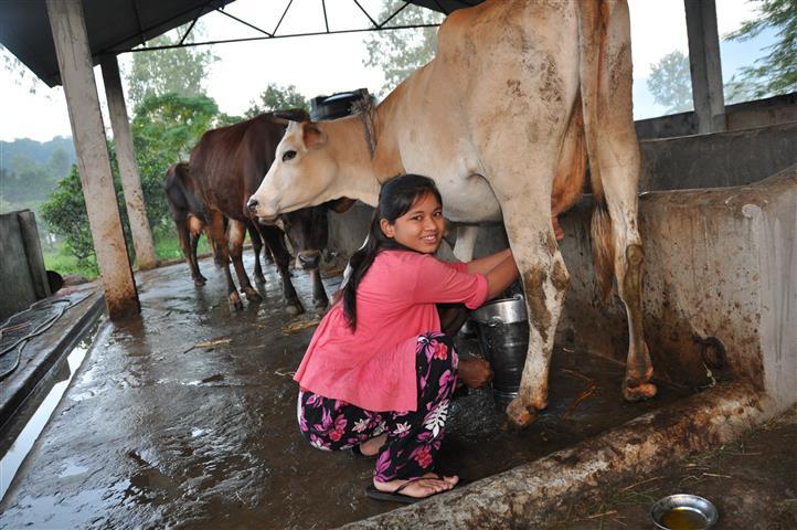 De oudere leerlingen van de Kumari-school leren melken. Een koe geeft 7 liter melk per dag.