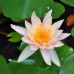 De lotusbloem heeft een symbolische betekenis: staat voor puurheid, schoonheid, ontluiking, bloei van de geest, de ware ziel van het individu.