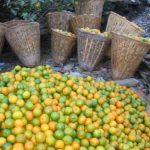 In sommige bergdorpjes groeien de mandarijnen in overvloed. In doko's worden ze naar beneden gedragen.